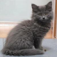 "Baby Female Cat - Domestic Long Hair: ""Bubble"""