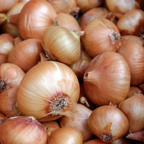 VIDALIA SWEET GRANEX ONION 400+ Heirloom Vegetable Seeds Short Day