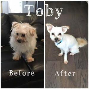 "Adult Male Dog - Maltese: ""Toby"""