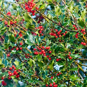 4 x Holly Trees Sapling Seedling Bush Garden Hedge 10-20cm (Ilex aquifolium)