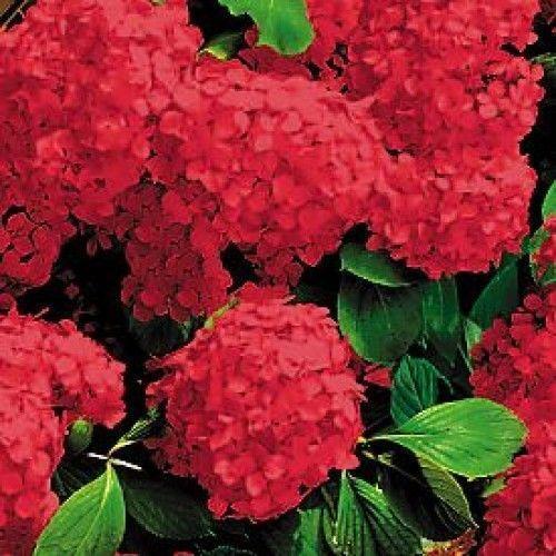 Plant Hydrangeas: Hydrangea Macrophylla Plant