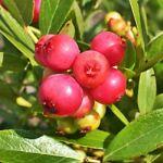 British Fruit Plants