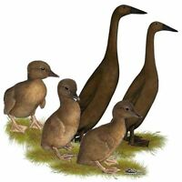 3 CHOCOLAT INDEAN RUNNER DUCKS