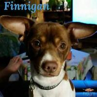 "Young Male Dog - Chihuahua: ""Finnegan"""