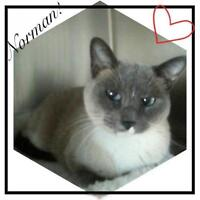 "Adult Male Cat - Siamese: ""Norman"""