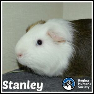 """Young Male Small & Furry - Guinea Pig: """"Stanley"""""""