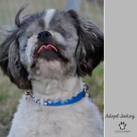 "Adult Male Dog - Shih Tzu: ""Jakey"""