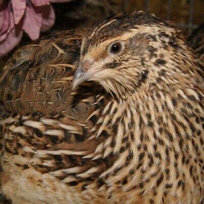 Fertile Jumbo Coturnix Quail Hatching Eggs Free Shipping 25 Shipped In Foam