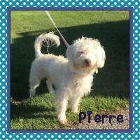 "Young Male Dog - Poodle: ""Pierre"""