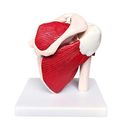 Dental Musculoskeletal Shoulder Joint Model Teaching Aids Anatomy Skeleton