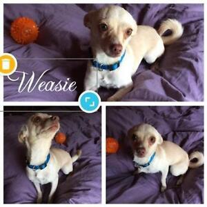 "Young Female Dog - Chihuahua: ""Weasie"""