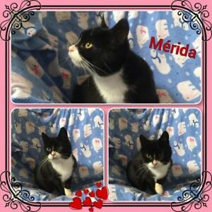 "Adult Female Cat - Domestic Short Hair: ""Merida"""