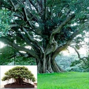 Small Leaved Fig x8plants native bushfood /bonsai bird attractant Eungai Creek Nambucca Area Preview