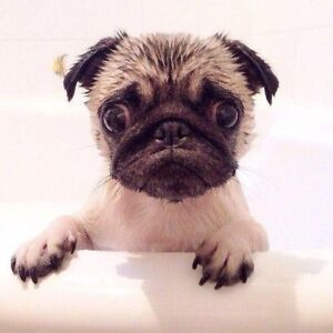 Looking for Male Pug Puppy(FAWN)