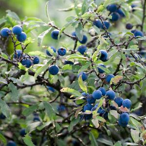 1 x Blackthorn Tree Seedling Sapling 30-50cm Sloe Gin (Prunus spinosa)