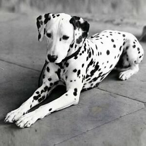 Looking for a Dalmatian dog to rent!