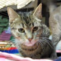 """Young Female Cat - Domestic Short Hair-Tabby: """"Shelby"""""""