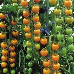 Tomato Sun Gold - High Quality 10 Seeds - Liveseeds