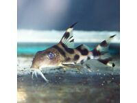 "Syno Decorus Clown Catfish 3"" for sale - live tropical fish"