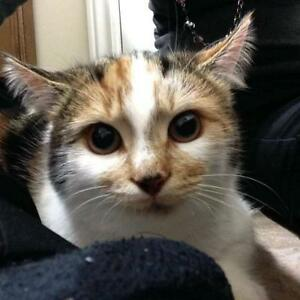 "Young Female Cat - Calico: ""Jellybean"""