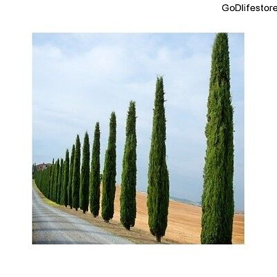 Plants Cypress Trees Set Outdoor Garden Hardy Evergreen Grow Tall Healthy Strong