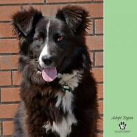 "Young Female Dog - Border Collie: ""Tegan"""