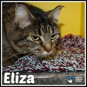 "Young Female Cat - Domestic Medium Hair: ""Eliza*"""