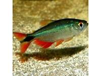 Large Buenos Aires Tetra