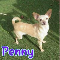 "Young Female Dog - Chihuahua: ""Penny"""
