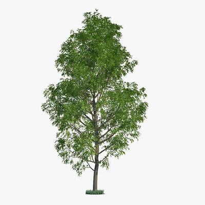 10 Hybrid Poplar Tree Cuttings - Fast Growing Shade or Privacy Trees - 10 (Shades Tree)