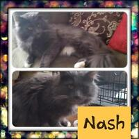 "Adult Male Cat - Domestic Long Hair: ""Nash"""
