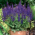 Salvia Perennial Flowers & Plants