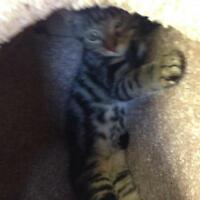 "Young Male Cat - Tabby - Grey: ""Oscar"""