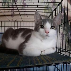"""Young Male Cat - Domestic Short Hair - gray and white: """"Pop"""""""