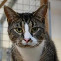 """Adult Male Cat - Domestic Short Hair-Tabby: """"Boots"""""""