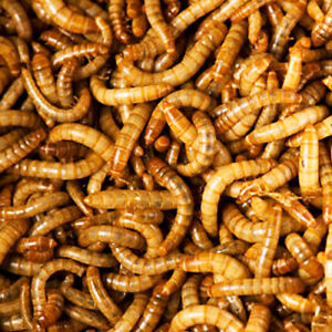Meal Worms for SALE!
