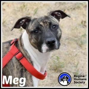 "Young Female Dog - American Staffordshire Terrier: ""Meg*"""