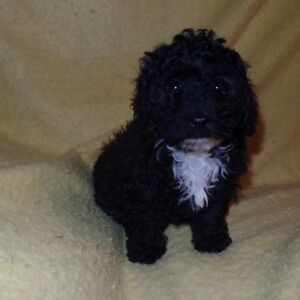 Mini Toy Poodle Puppies