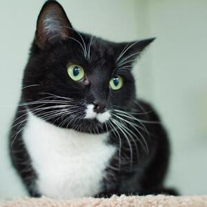 """Young Female Cat - Tuxedo: """"Sophie"""""""