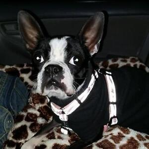 """Young Female Dog - Boston Terrier: """"Miss Mel"""""""