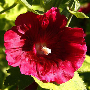 12 graines de rose tremiere rouge alcea rosea rubra x59 - Graine rose tremiere ...