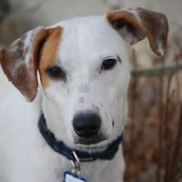 """Adult Male Dog - Jack Russell Terrier: """"Flynn"""""""