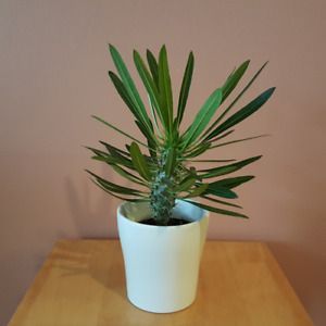 Indoor Plants / Houseplants / Madagascar Palm