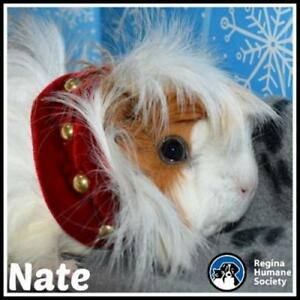 "Adult Male Small & Furry - Guinea Pig: ""Nate"""