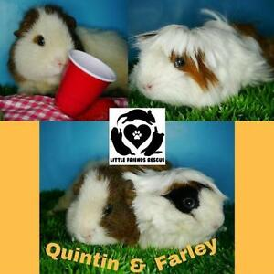 "Young Female Small & Furry - Guinea Pig: ""Quintin and Farley"""