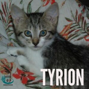 "Baby Male Cat - Domestic Short Hair: ""Tyrion"""
