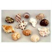 Large Hermit Crab Shells