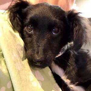 """Baby Male Dog - Spaniel: """"GEORGIE"""""""