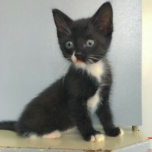 "Baby Female Cat - Domestic Short Hair: ""Lorie"""