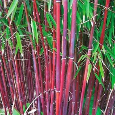 Red Bamboo - 50 Rare Red Bamboo Seeds Privacy Plant Garden Clumping Exotic Shade Screen
